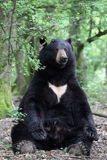 Seated Black Bear